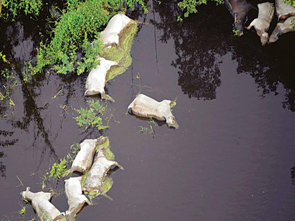 Reses muertas por falta de tierra firme en Santa Ana de Yacuma