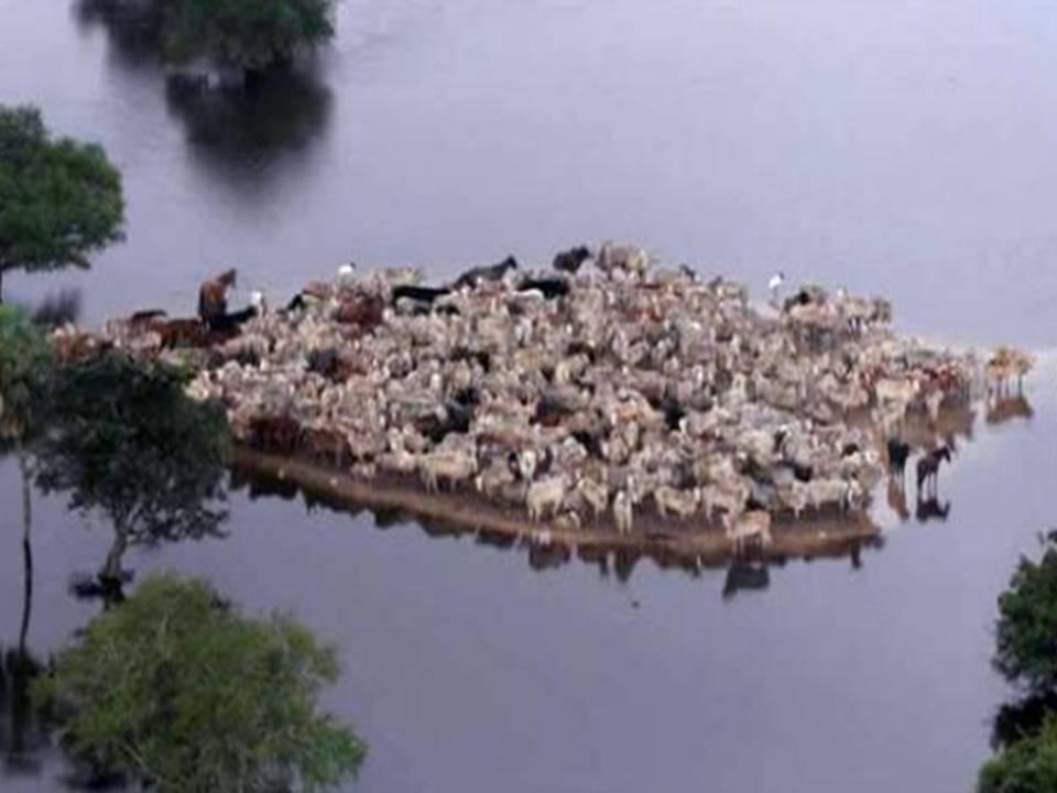 Reses situadas en el poco espacio de tierra firme que les queda disponible en Santa Ana de Yacuma