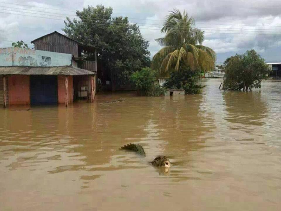 Cocodrilo surcando las aguas en uno de los Municipios